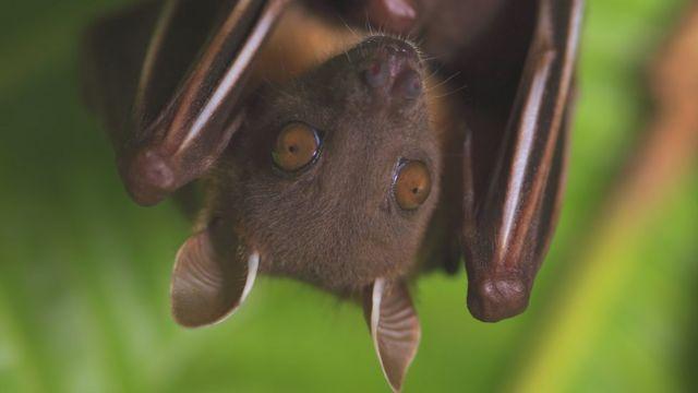泰国短鼻果蝠