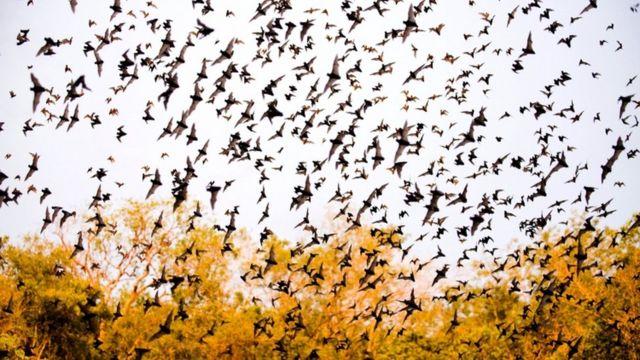 墨西哥一处石灰石洞穴里飞出的蝙蝠。